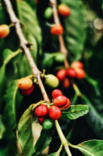 Ka'u Coffee Cherry